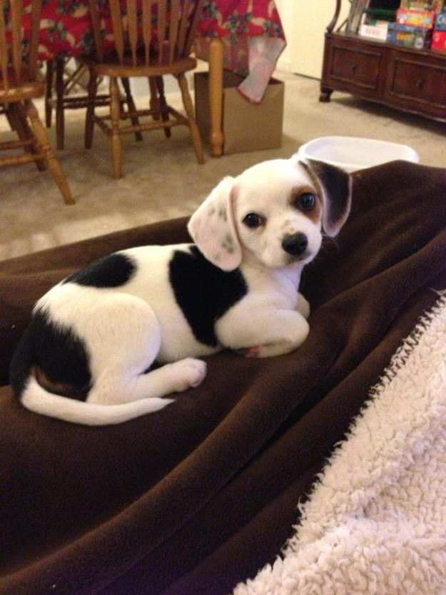 Chihuahua and beagle mix - not sure this guy could be any cuter