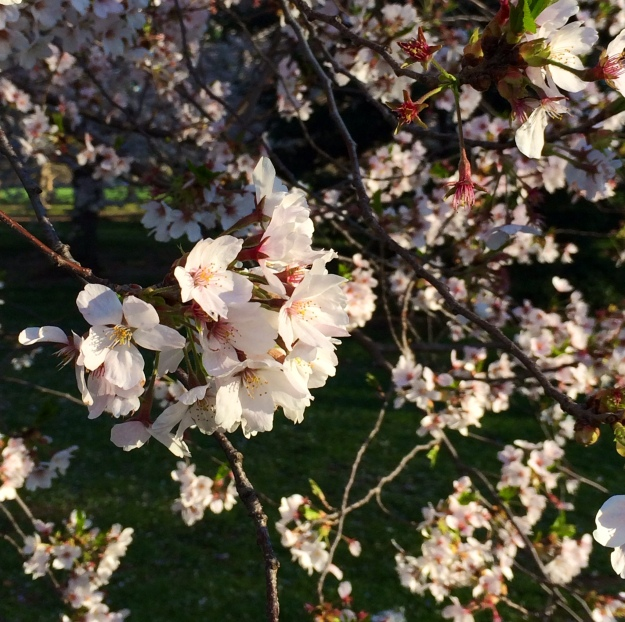 Cherry blossom up close